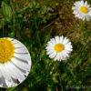 Heilkräuter: Gänseblümchen – der Frühlingsbote