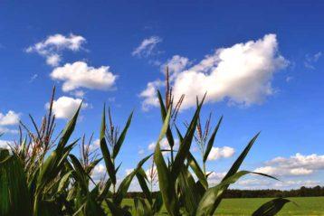 Gute Geschichte: Wie man guten Mais anbaut