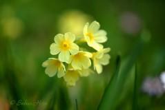 Schluesselblume Kopie