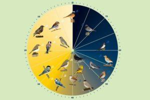 Vögel: Die Wecker vor dem Wecker