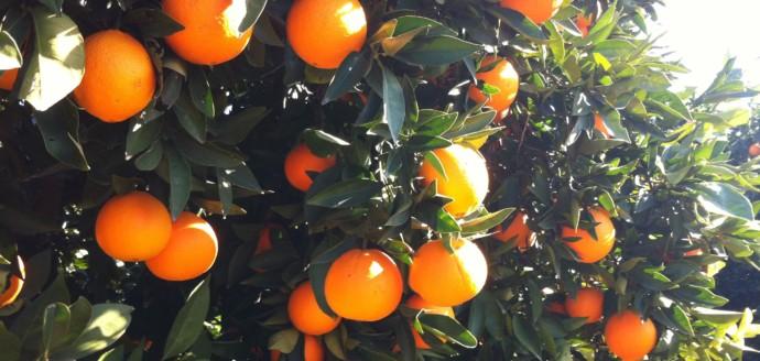 "Bio-Orangen online ""ernten"""