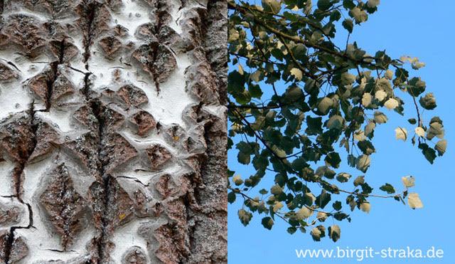 Die Pappel - der Baum des Volkes