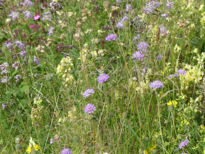 Trotz Trockenheit: Blühende Gärten mit Wildpflanzen