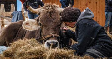 Butenland – das erste Kuh-Altersheim im Film