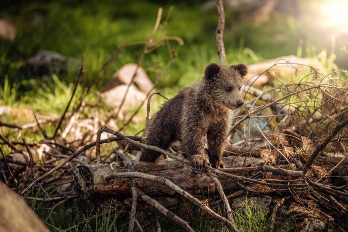 Kleiner Bär – Oder: Der Bär der keiner sein wollte