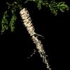 Meerrettich: Heilpflanze 2021
